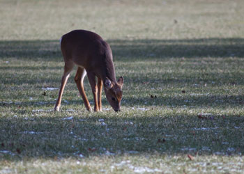 Small deer grazes in Estell Manor Park
