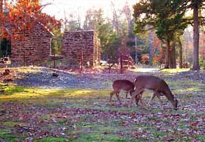 Deer grazing near glassworks ruins